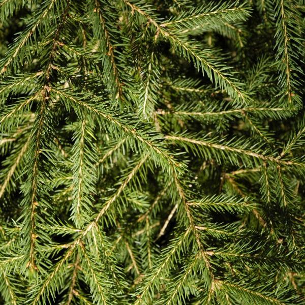 Spruce twigs