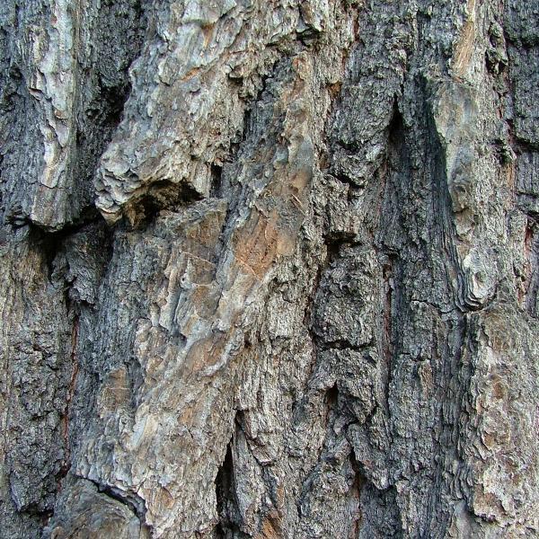 Thick bark