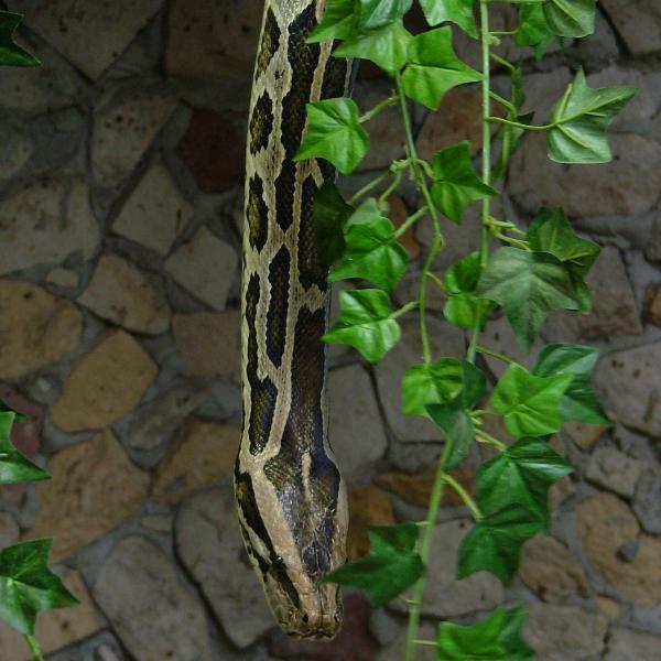 Boa snake 2
