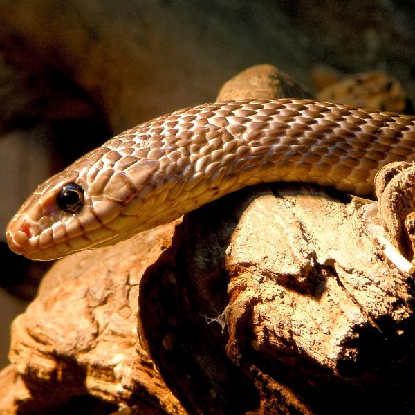 Escalupe snake
